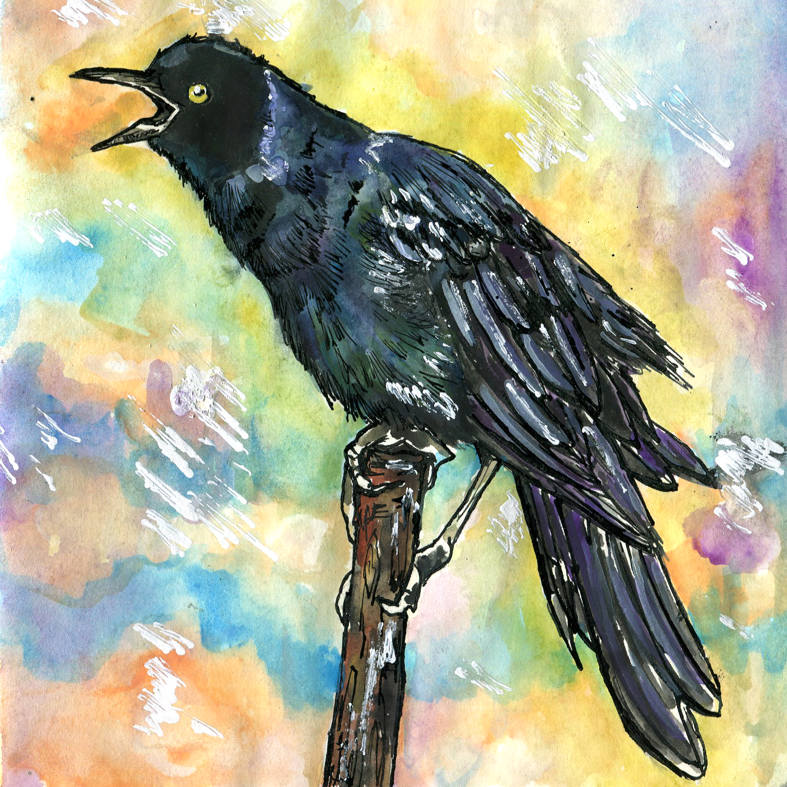 250. Boat-tailed Grackle