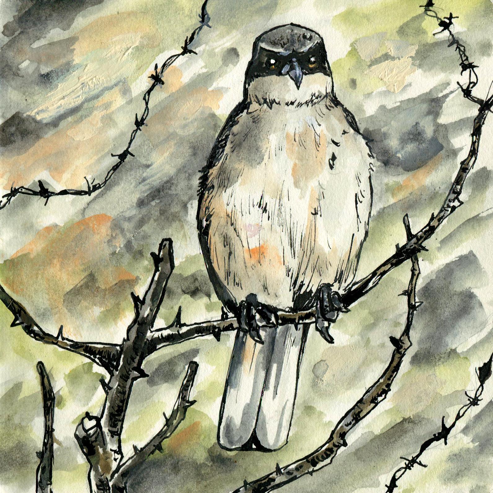 265. Loggerhead Shrike