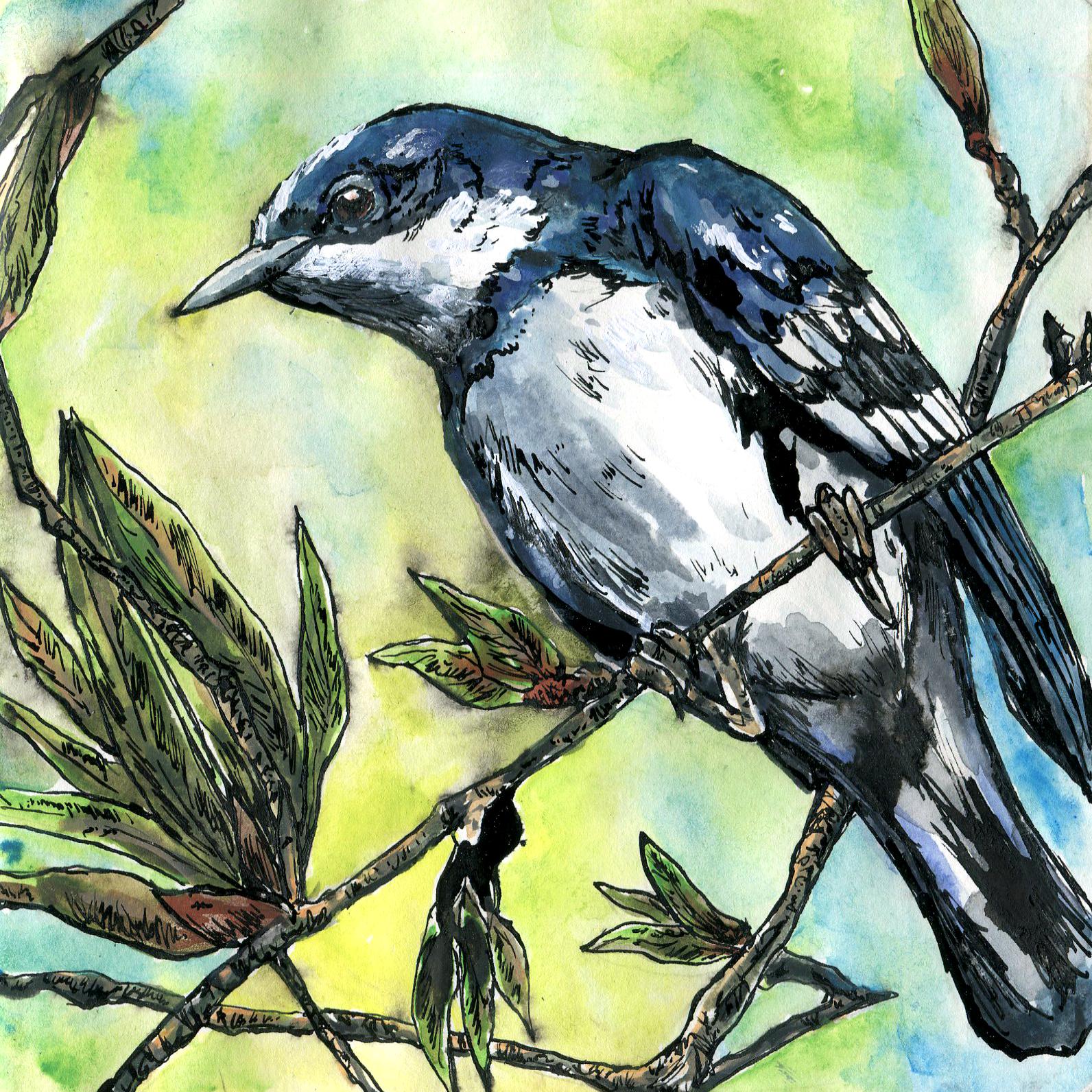 302. Cerulean Warbler