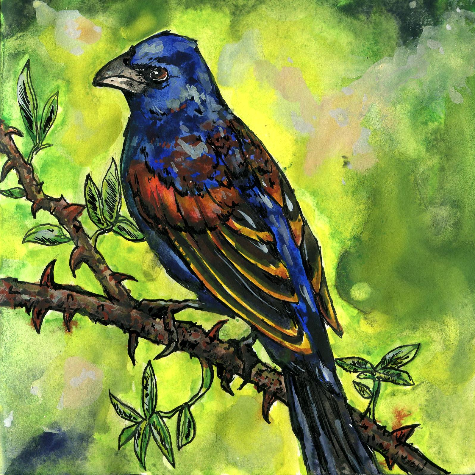 307. Blue Grosbeak