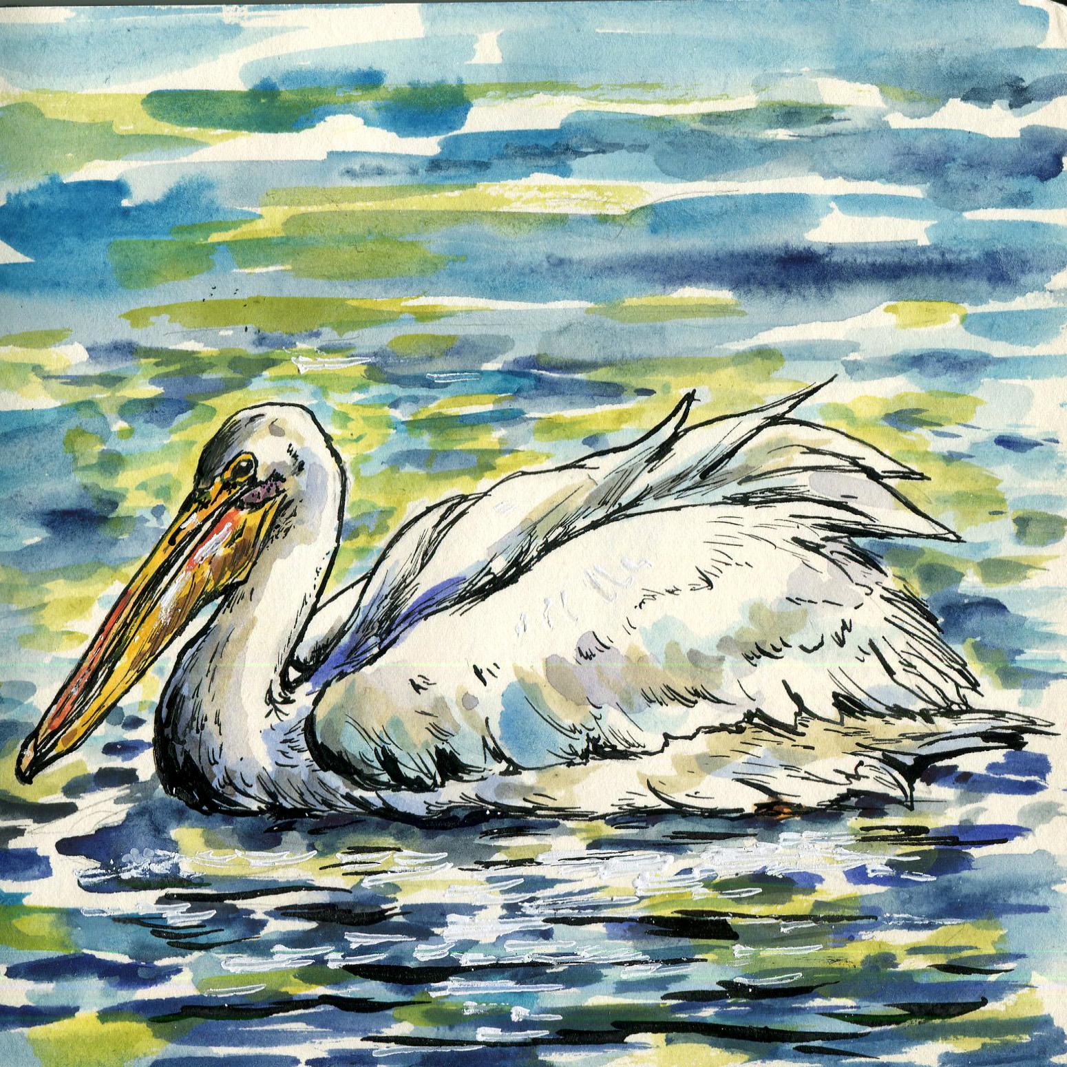 274. American White Pelican