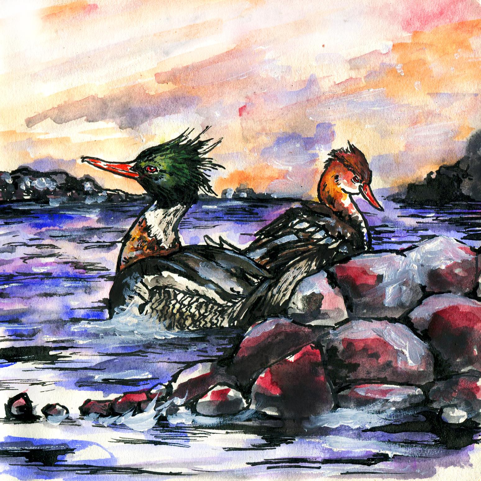 135. Red-breasted Merganser