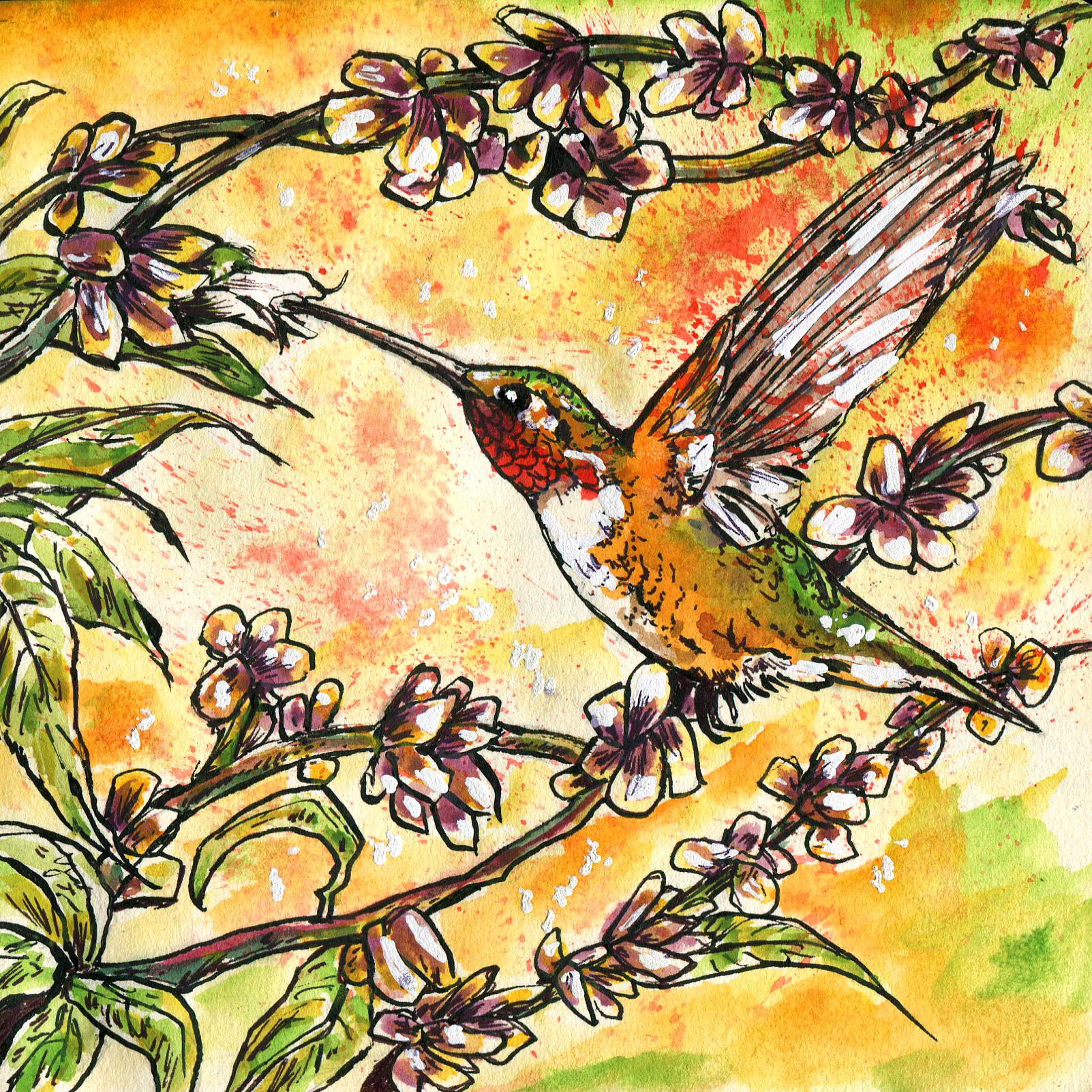 352. Allen's Hummingbird