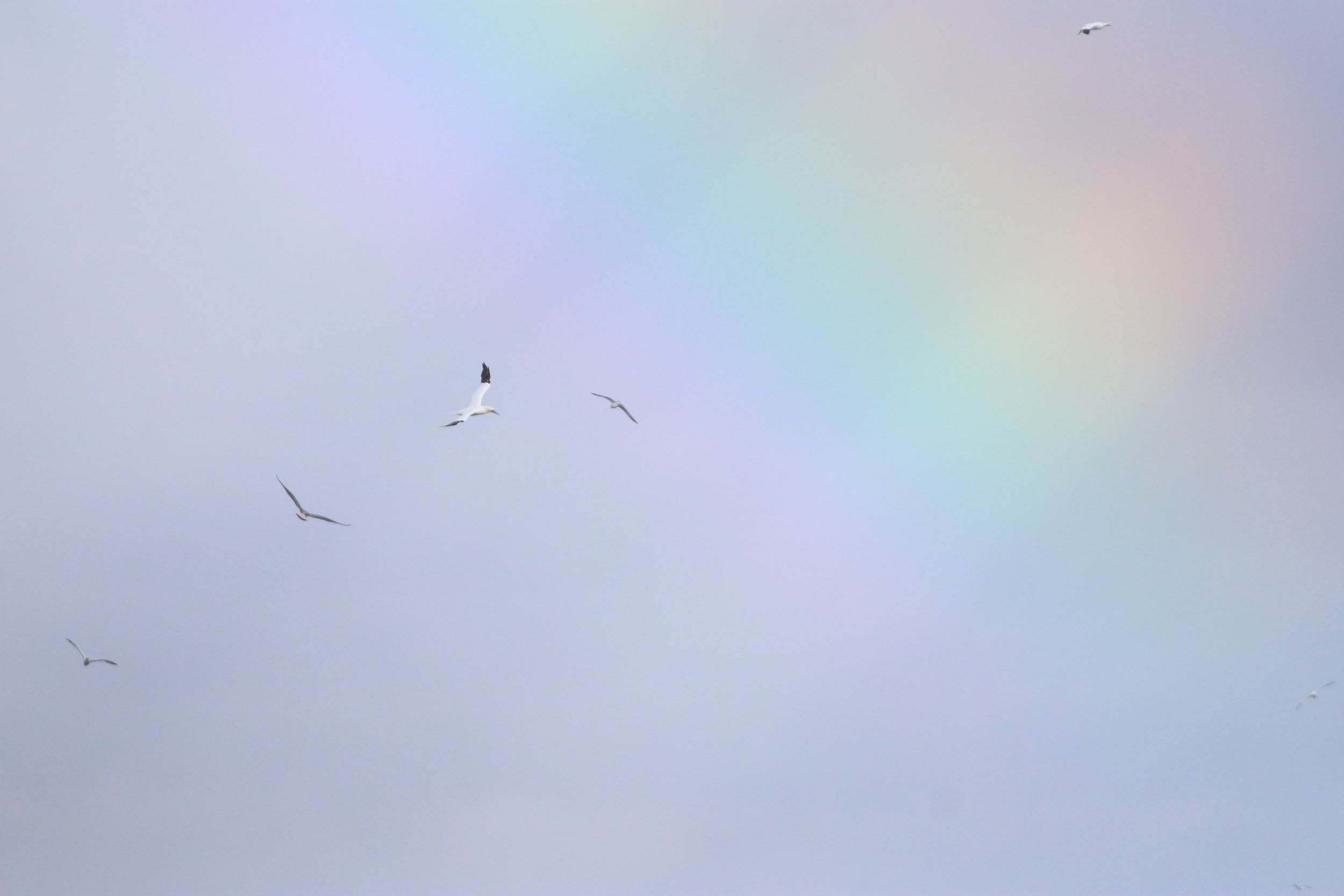 Northern Gannets dancing beneath a full rainbow at First Encounter Beach