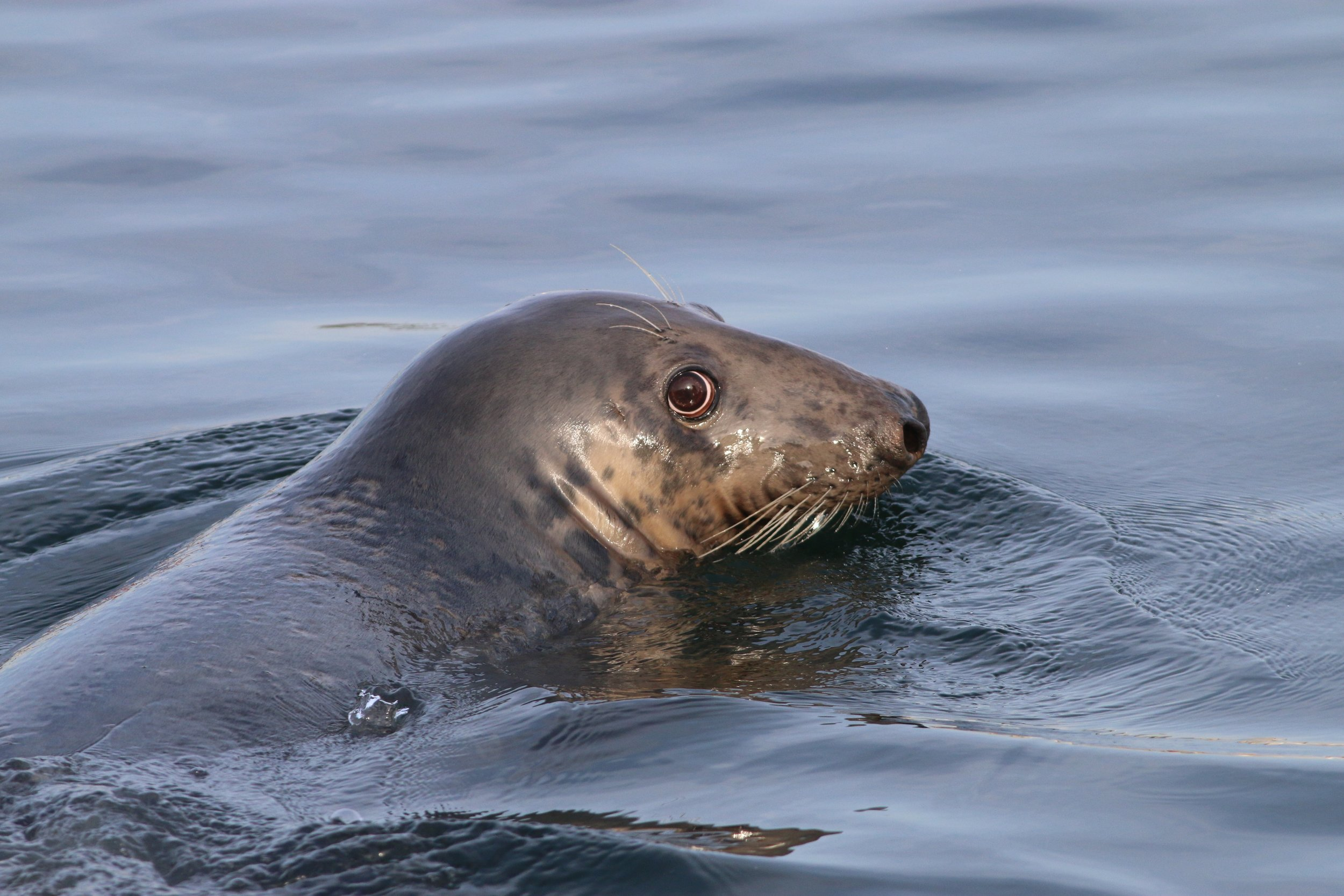 The most ADORABLE Gray Seal!