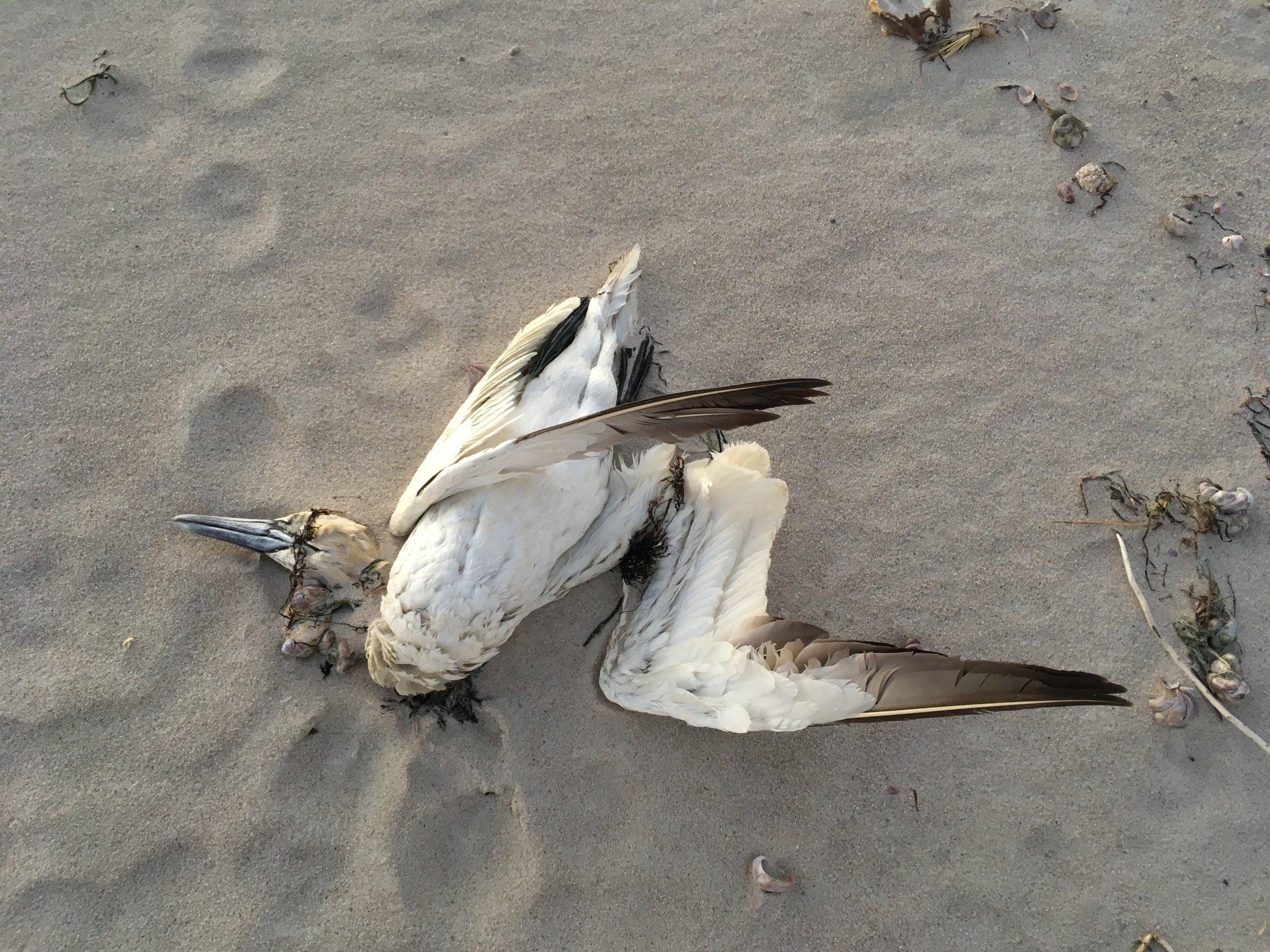 Northern Gannet on Smuggler's Beach