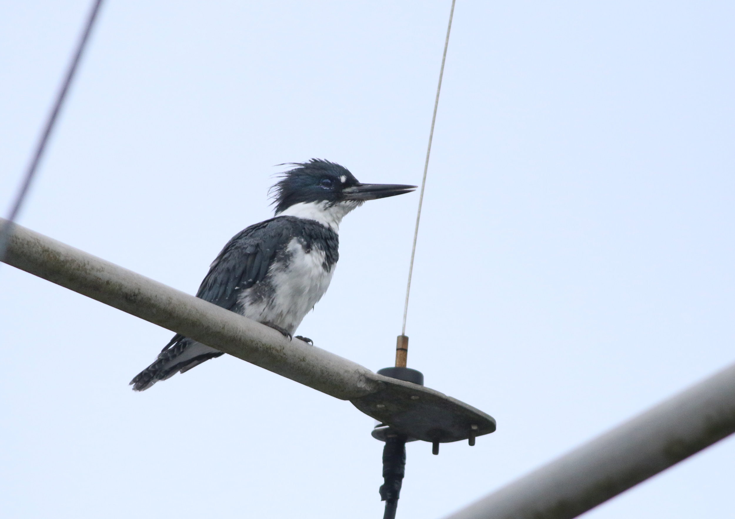 The Belted Kingfisher sits atop a mast in Hoonah, AK, waiting for just the right moment to dive!