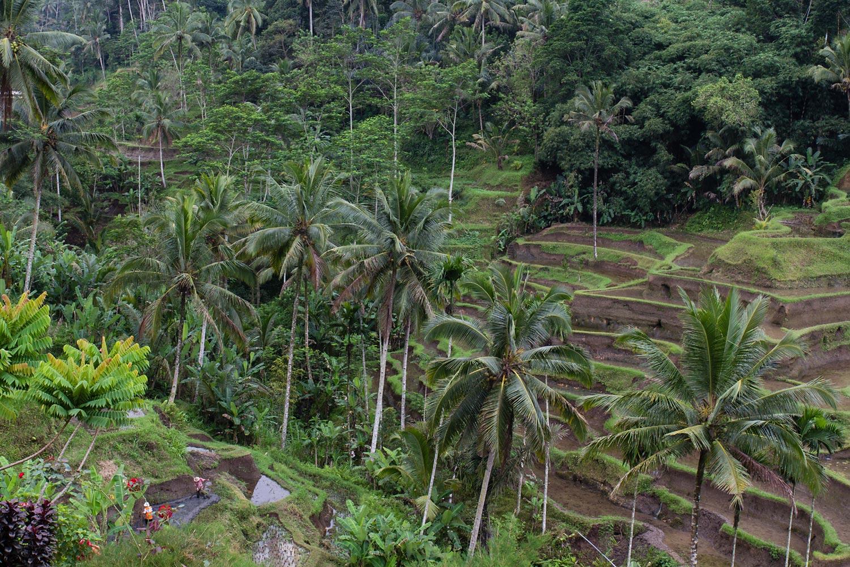Stunning rice terraces | Tegallalang, Bali