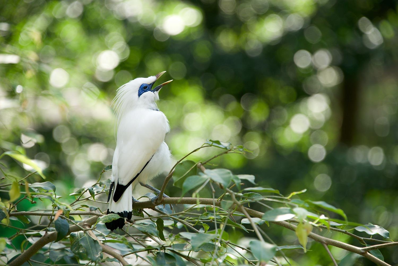 Bali-myna-bird-66046156.jpg