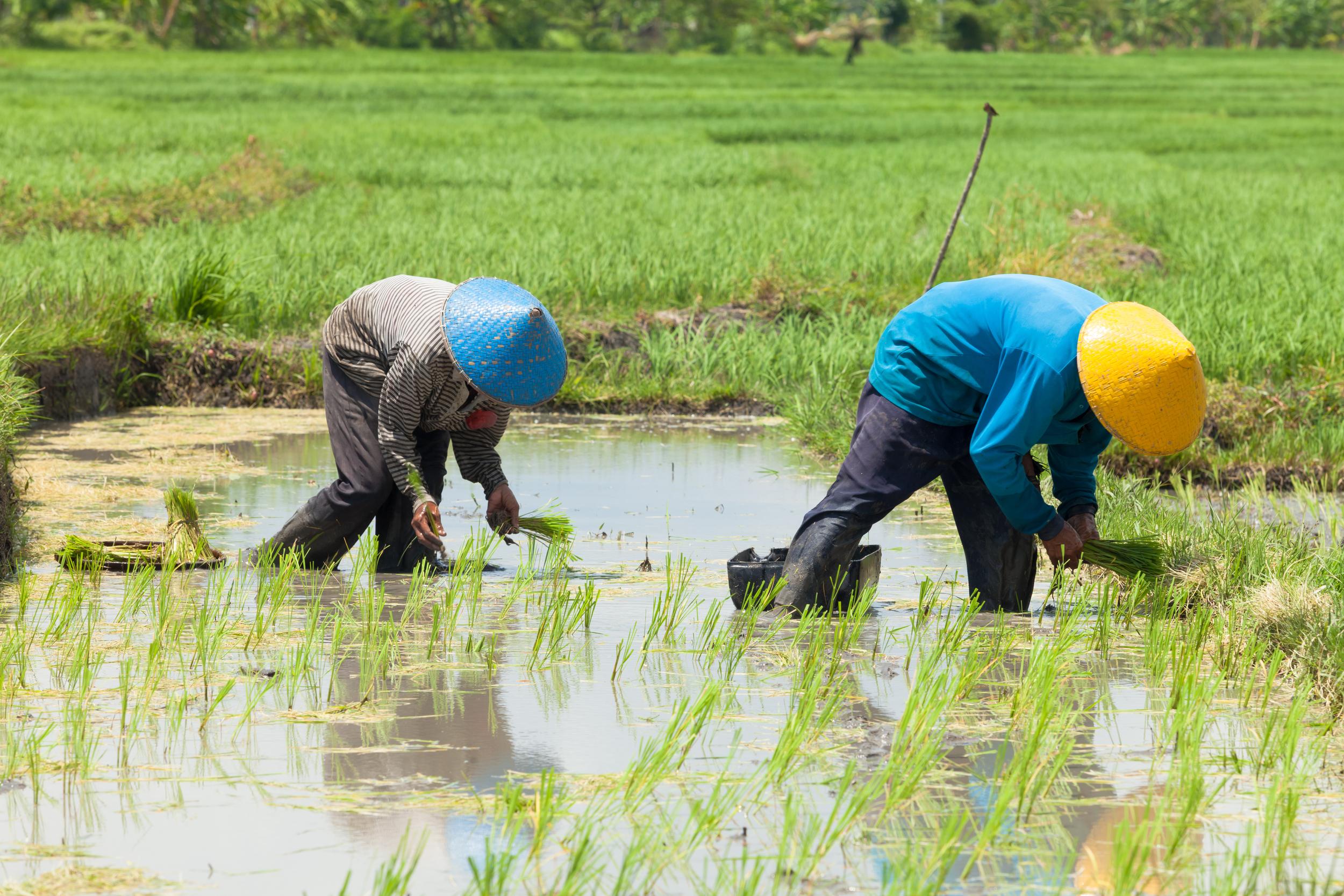 rice-paddie-walk-ubud