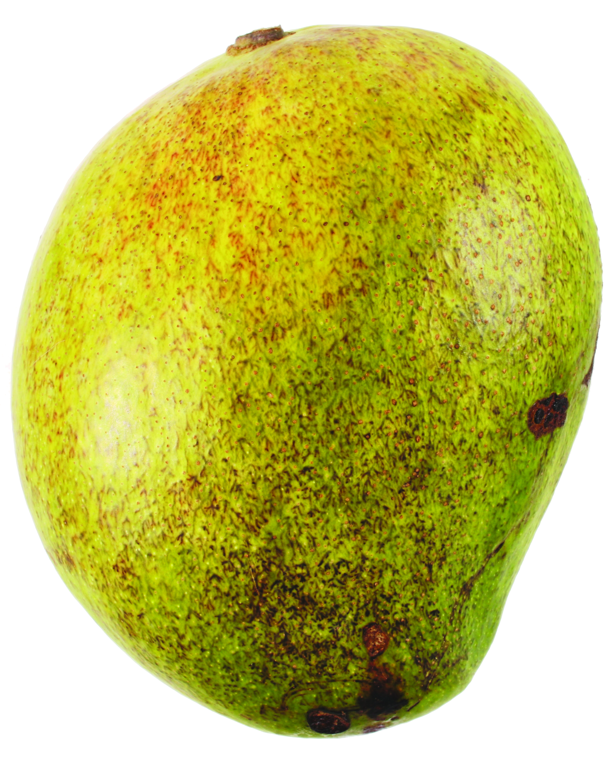 Injured Kensington Pride mango fruit on the tree can occasionally show RCD through the skin