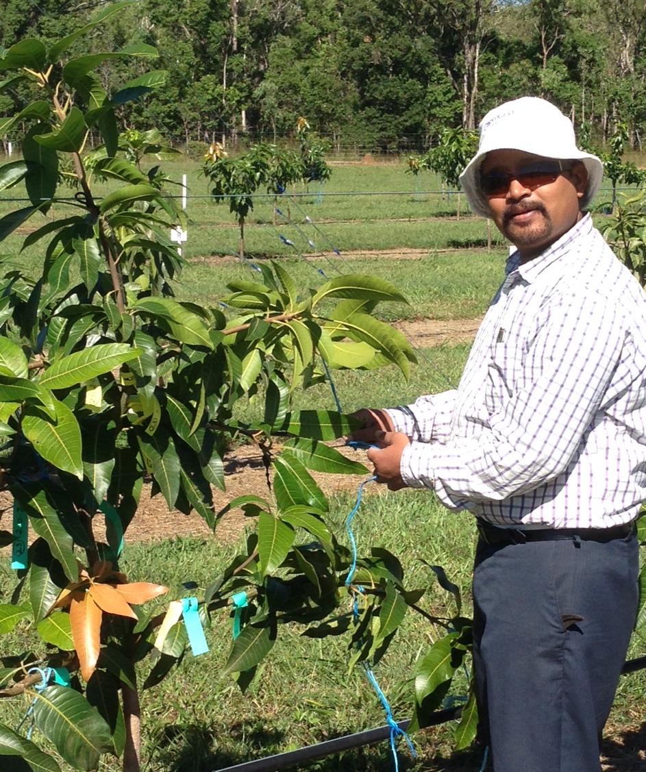 Mr Ram Kolala, Horticultural Technician working in the high density trellised tree experiment at Walkamin.