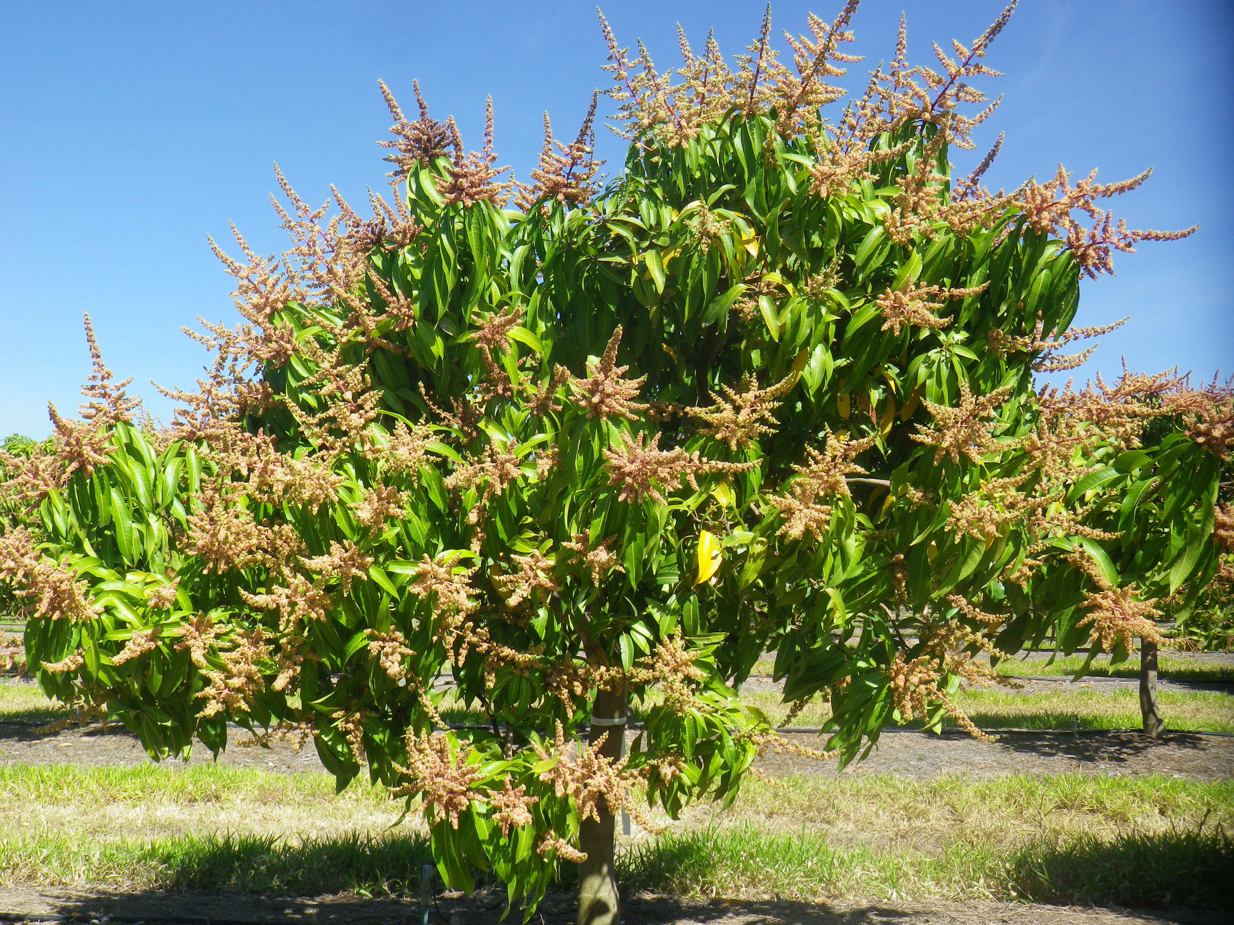 Calypso trees used in the crop load study with 100% flowering (no flowers removed  .