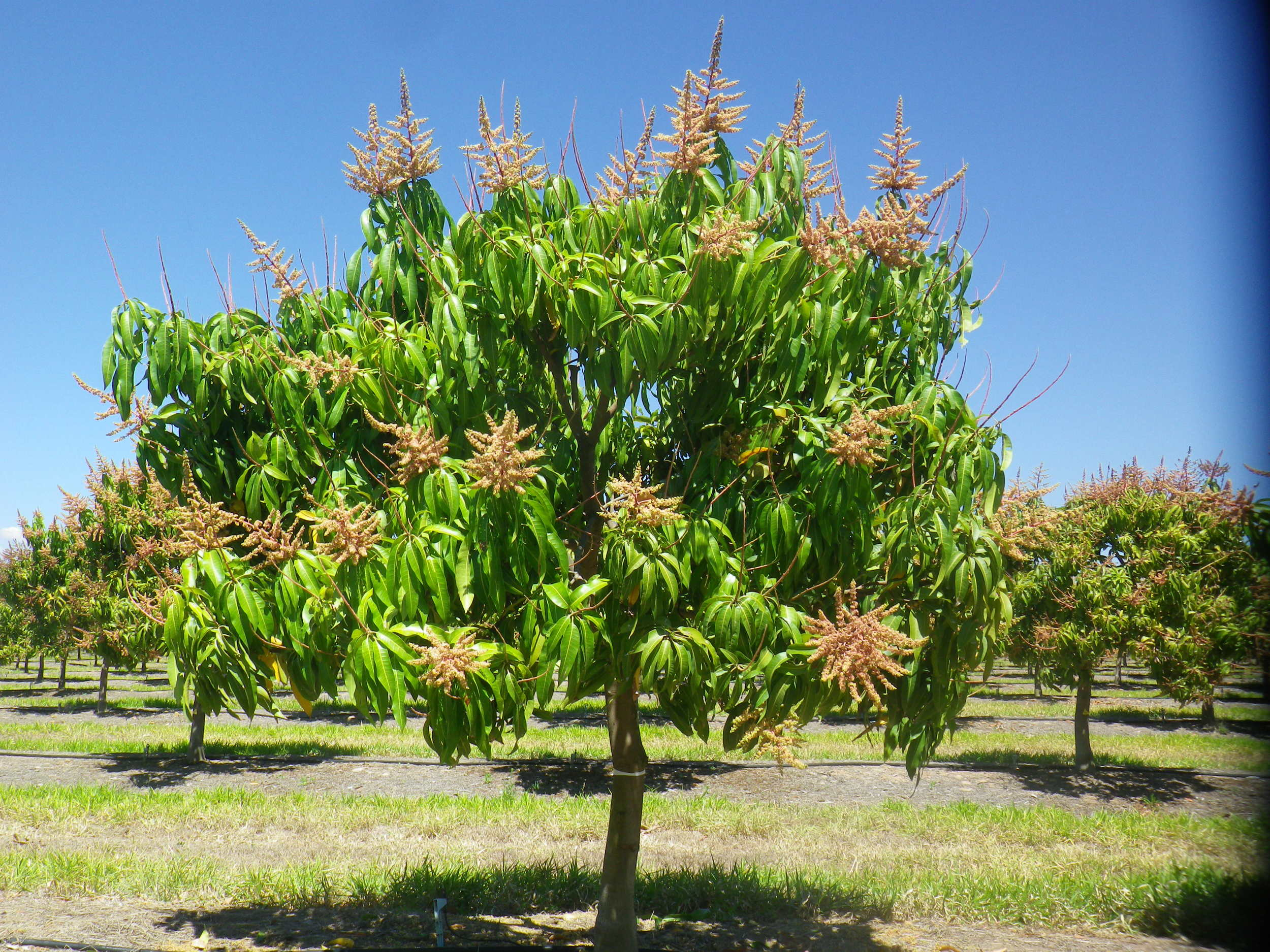 Calypso trees used in the crop load study with 10% flowering (90% flowers removed.