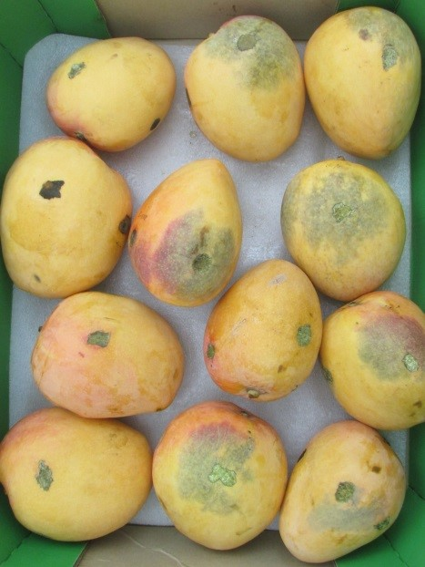 The fruit abovewas harvested at 10am and the fruit belowat 10pm. The fruit were lightly abraded with sandpaper, held below 14ºC for about six days then ripened. The USB develops around the abrasion sites in sensitive fruit.'