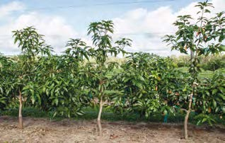 Photo 3.  Keitt planted at high density and trainied as a single leader on trellis