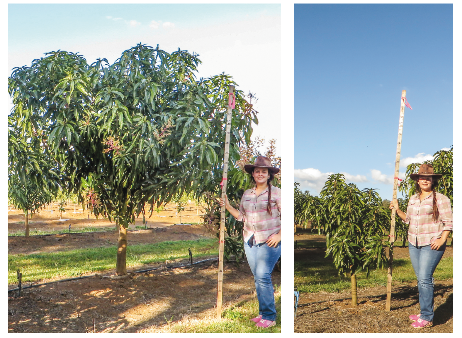 Photo 5.  PhD Student, Anahita Mizani, demonstrating the effect of rootstock on two-year-old trees (scion NMBP 4069), left rootstock = KP and right rootstock = WR100