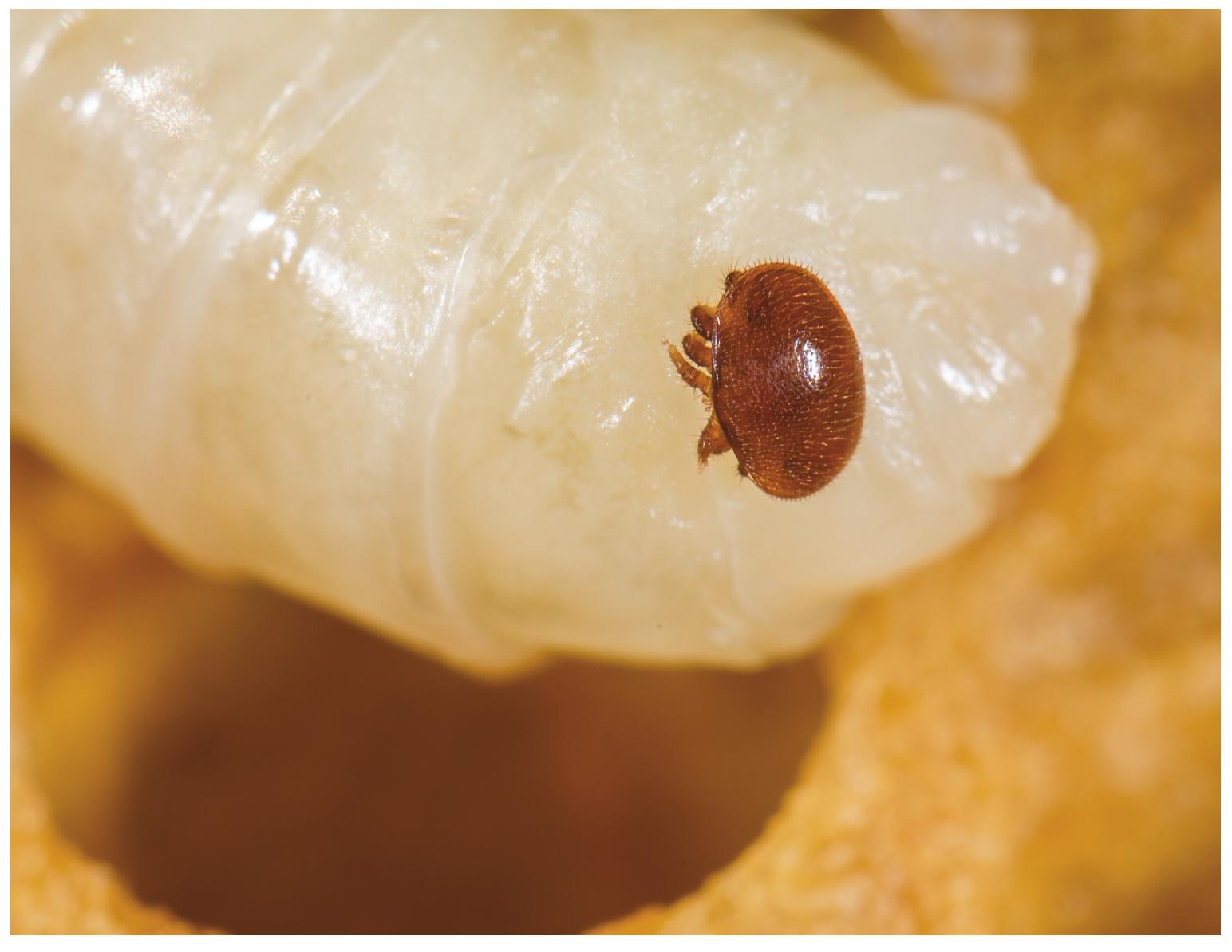 Varroa mite on a honey bee pupa
