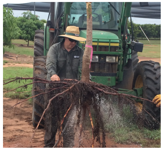 NTDPIR Senior Technician Alan Niscioli removes soil from mango tree roots following whole tree extraction of 1.5 year old trees in labelled 15N trial, at Coastal Plains Research Station (Darwin region).
