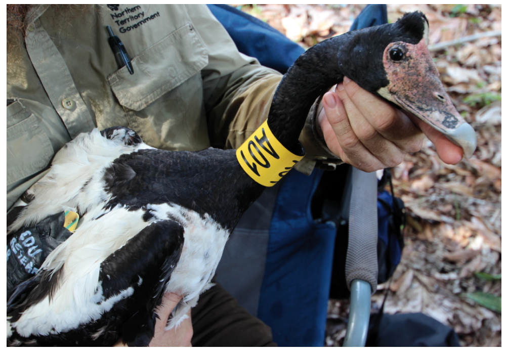 Magpie Goose fitted with GPS tracking device and identification collar during 2016 field season. (Photo credit: Damien Stanioch).