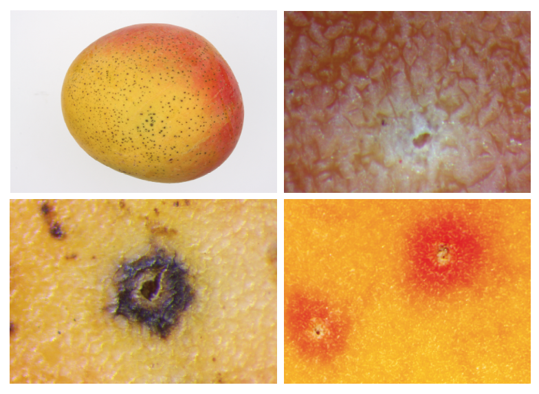 Mango fruit affected by LD (top left) and close-ups of typical lenticel types on mango fruit skin: healthy (top right), affected by LD brown (bottom left) or red halos (bottom right). Photos taken by the postharvest research team at MRF.
