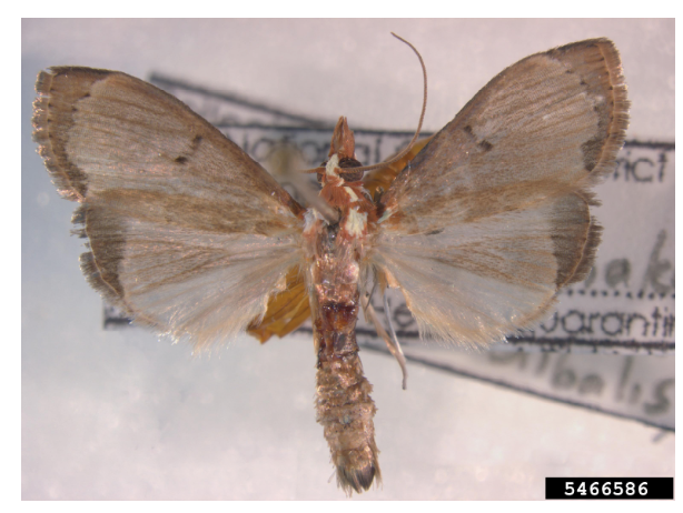 Adult moths are fawn coloured. Photo: Pest and Diseases Image Library, Bugwood.org.