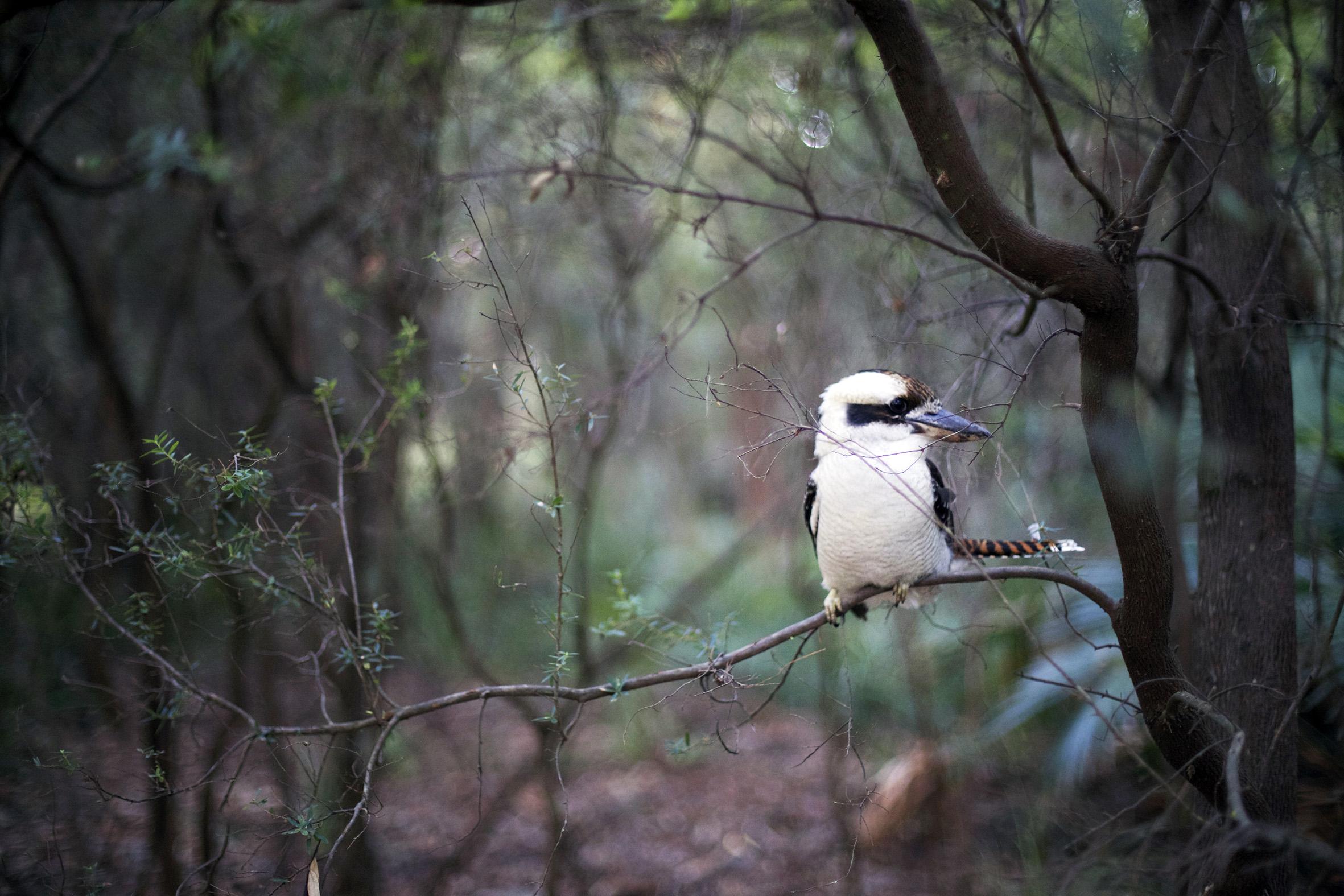 P kookaburra.jpg