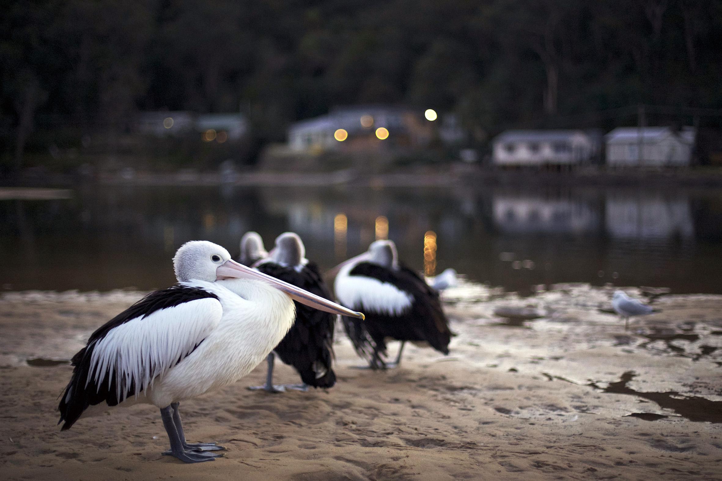 P pelican.jpg