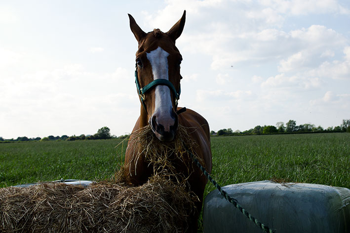horse-eating-haylage-top-grass-haylage-edit.jpg