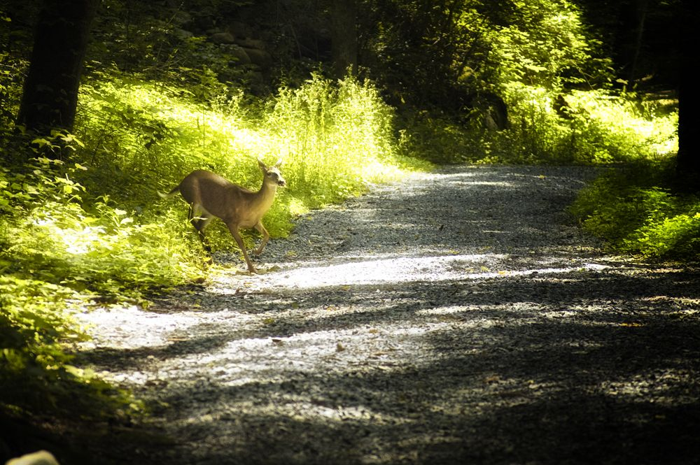 deer in road1000.jpg