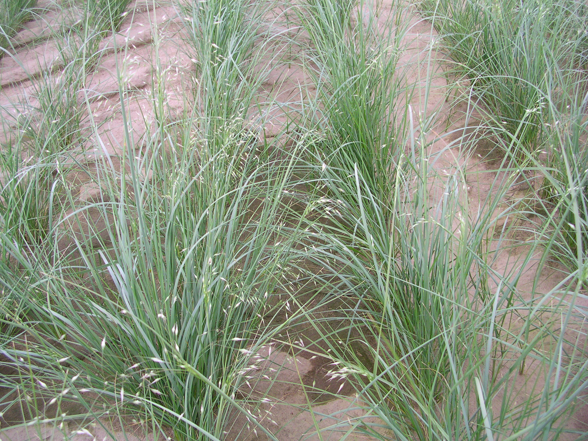 Indian ricegrass.JPG