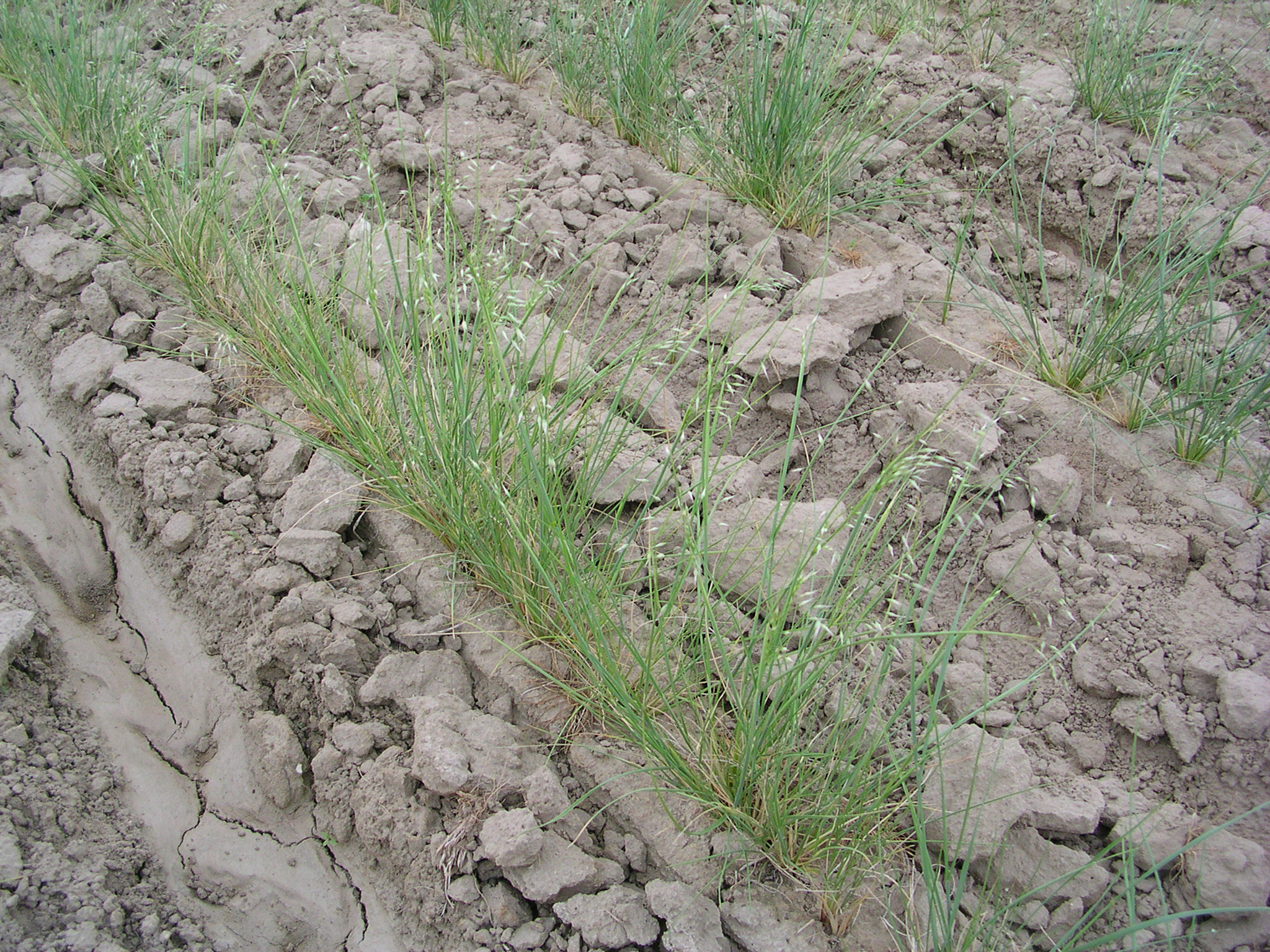 Indian ricegrass seedlings.JPG