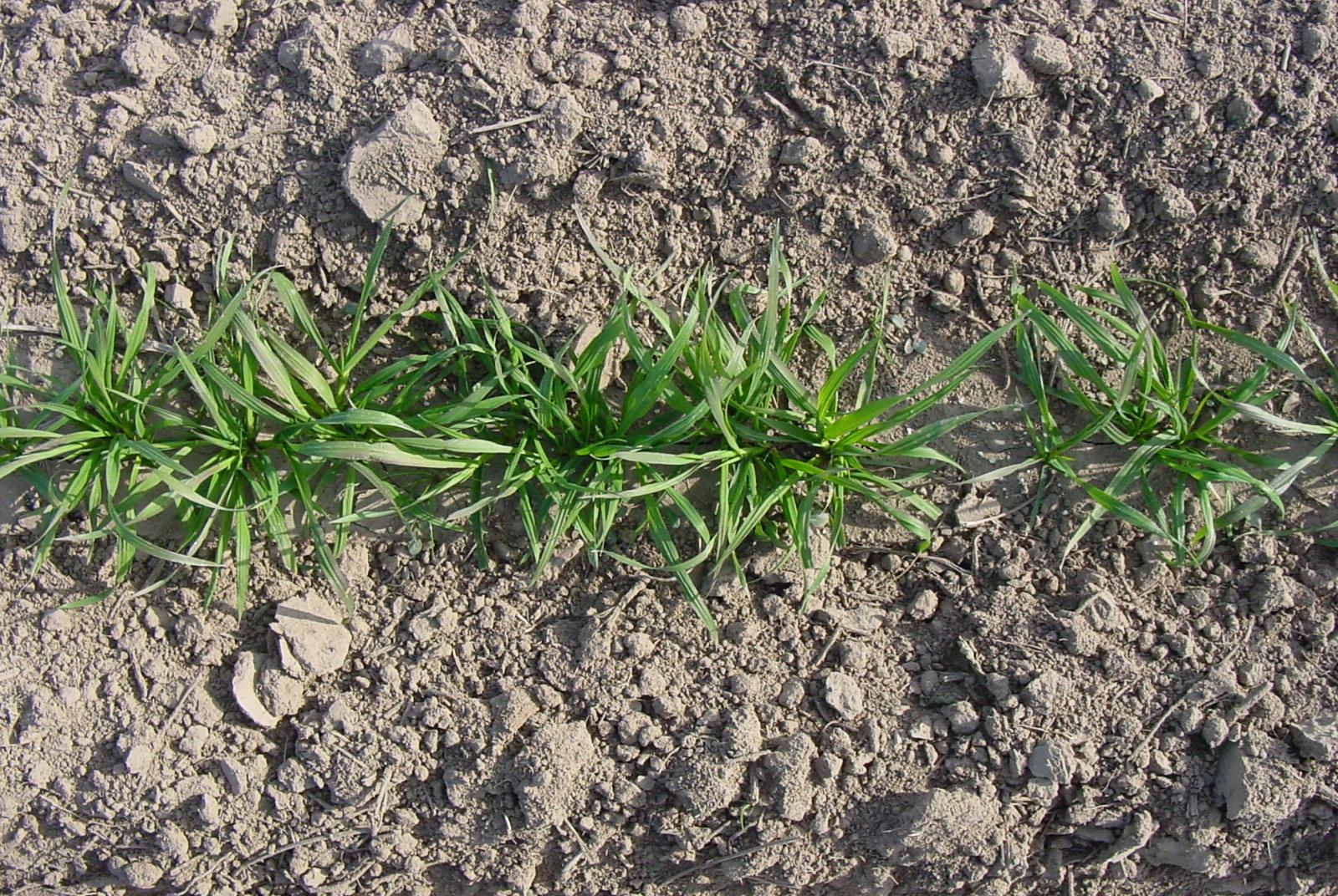 Bromar Mountian Brome Plant Fall.JPG