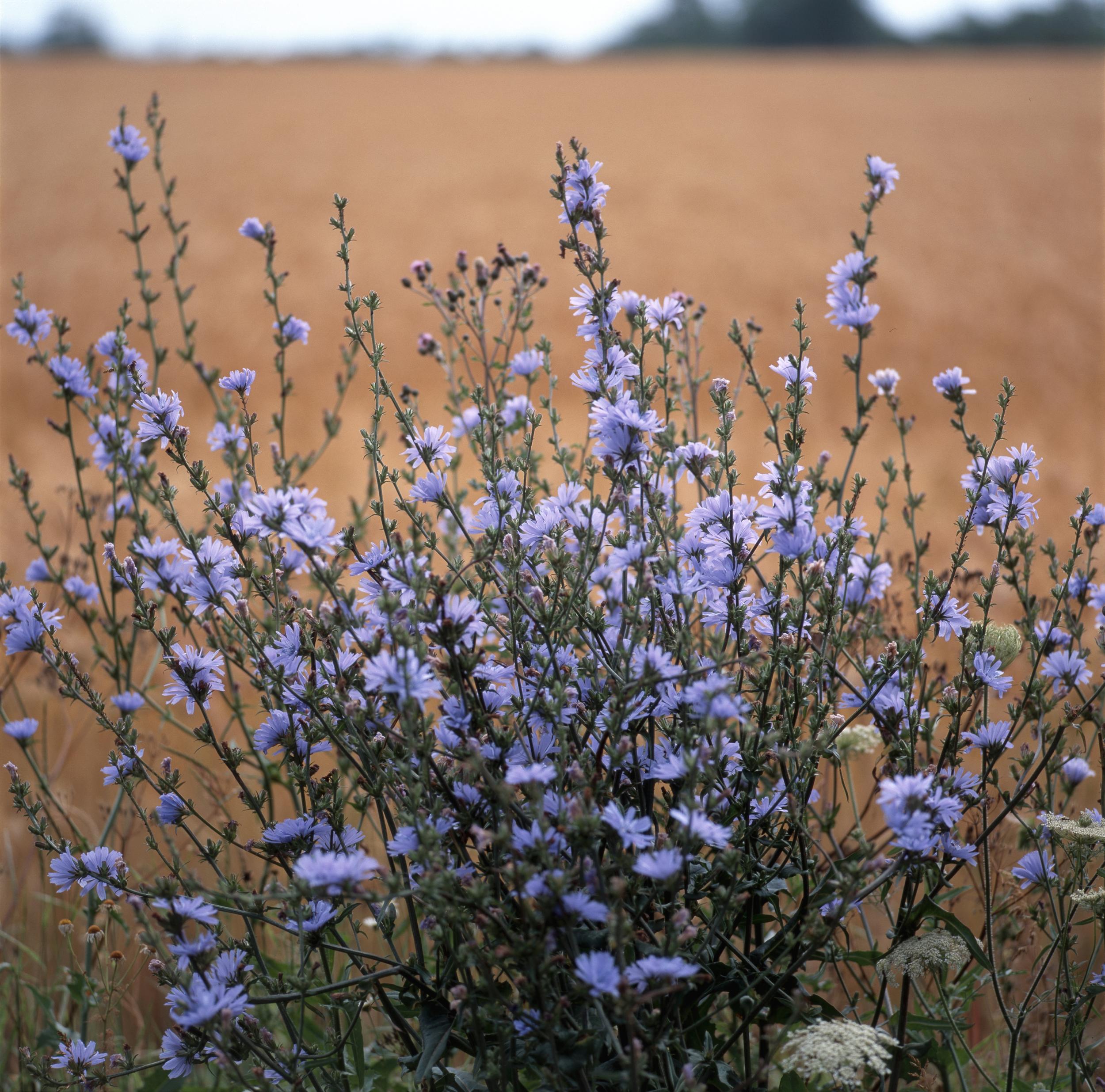 Cichorium intybus (Chicory).jpg