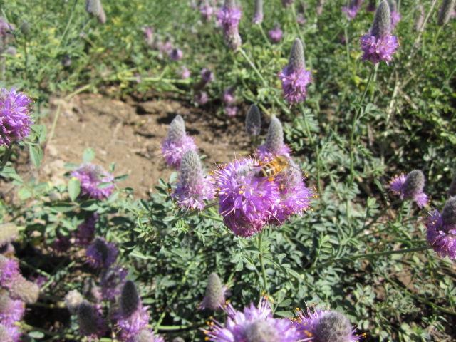 Aridlands Western Prairie clover.JPG