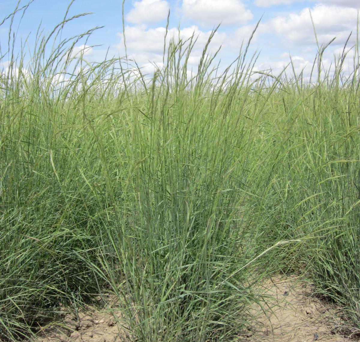 Discovery Snake River Bluebunch Wheatgrass (2).JPG