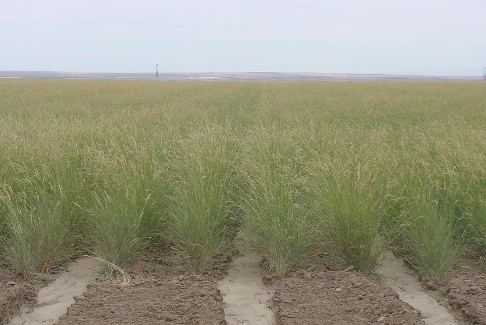 Secar Snake River Bluebunch Wheatgrass (2).JPG