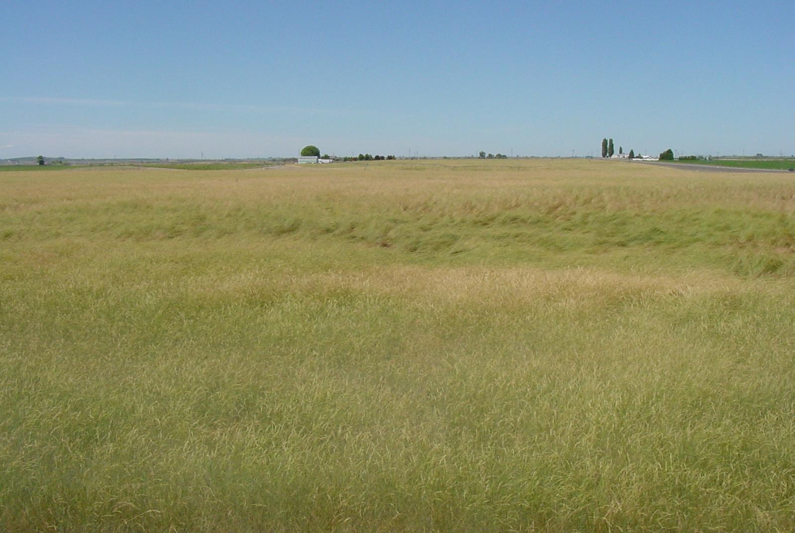 Secar Snake River Bluebunch Wheatgrass.JPG