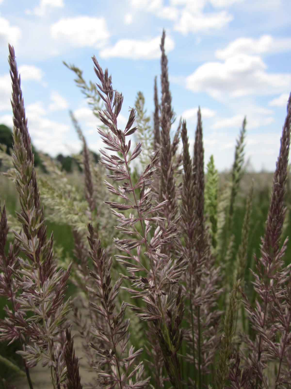 Umatilla Prairie Junegrass Koeleria macrantha (3).JPG