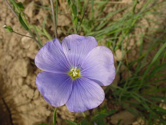 Appar Blue flax Linum perenne.jpg