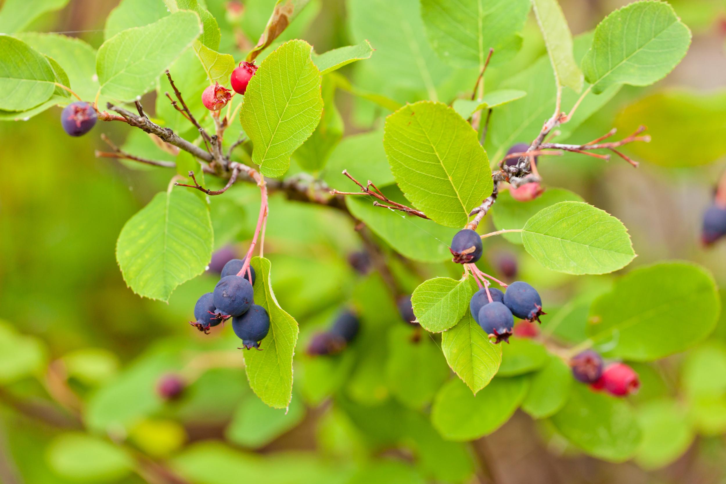 Saskatoon serviceberry (Amelanchier alnifolia).jpg