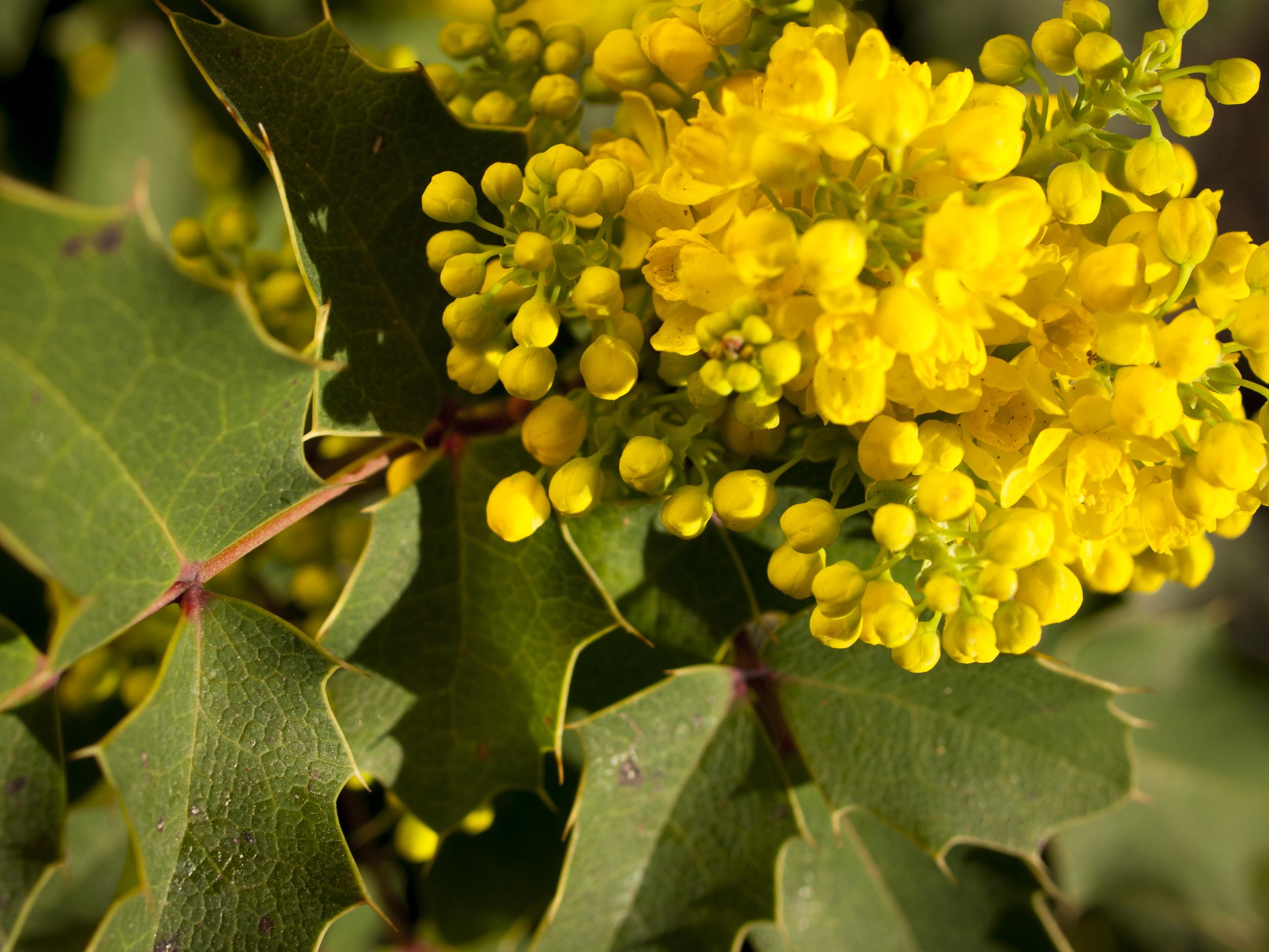 Creeping Oregon grape (Mahonia repens).jpg