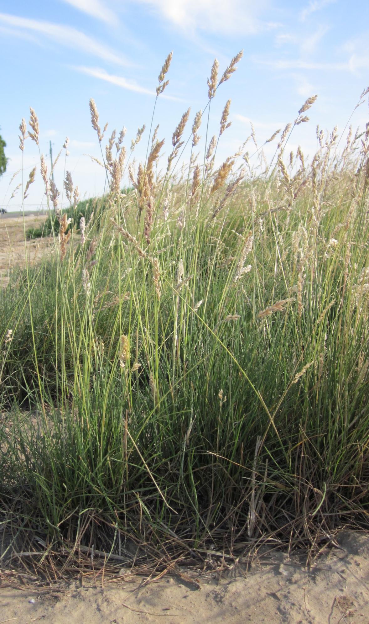 CP-UP Poa fendleriana (Muttongrass).JPG