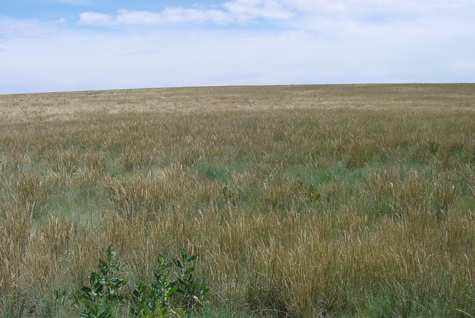 Sherman Poa secunda ssp ampla (Big bluegrass).JPG