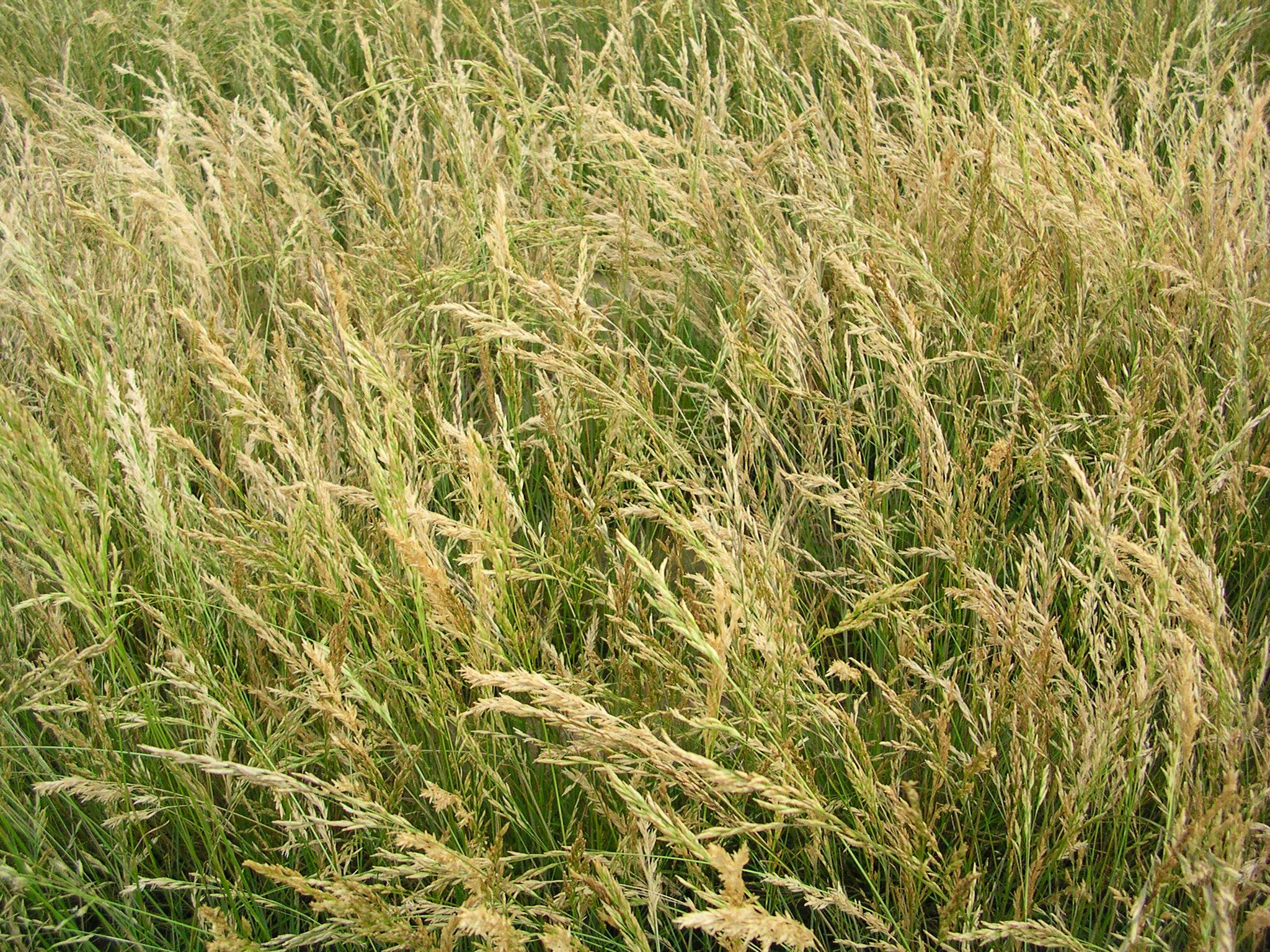 Poa secunda ssp sandbergii (Sandberg bluegrass).JPG