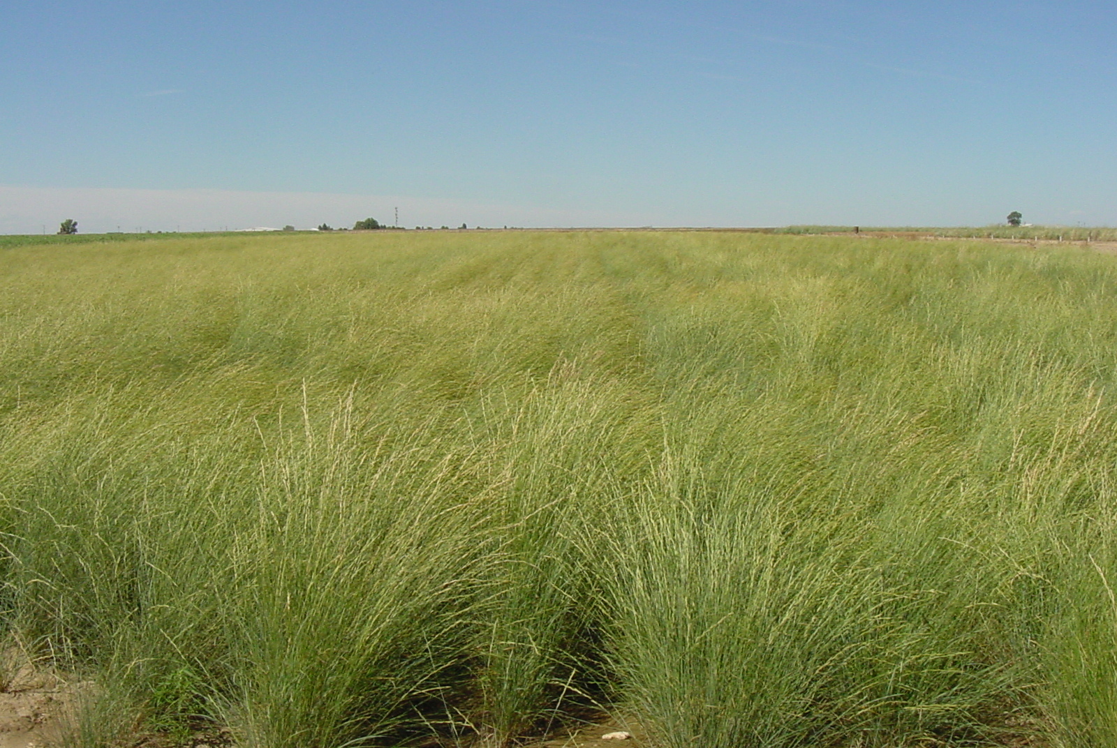 Whitmar Pseudoroegneria spicata ssp inermis (Beardless bluebunch wheatgrass) (3).JPG