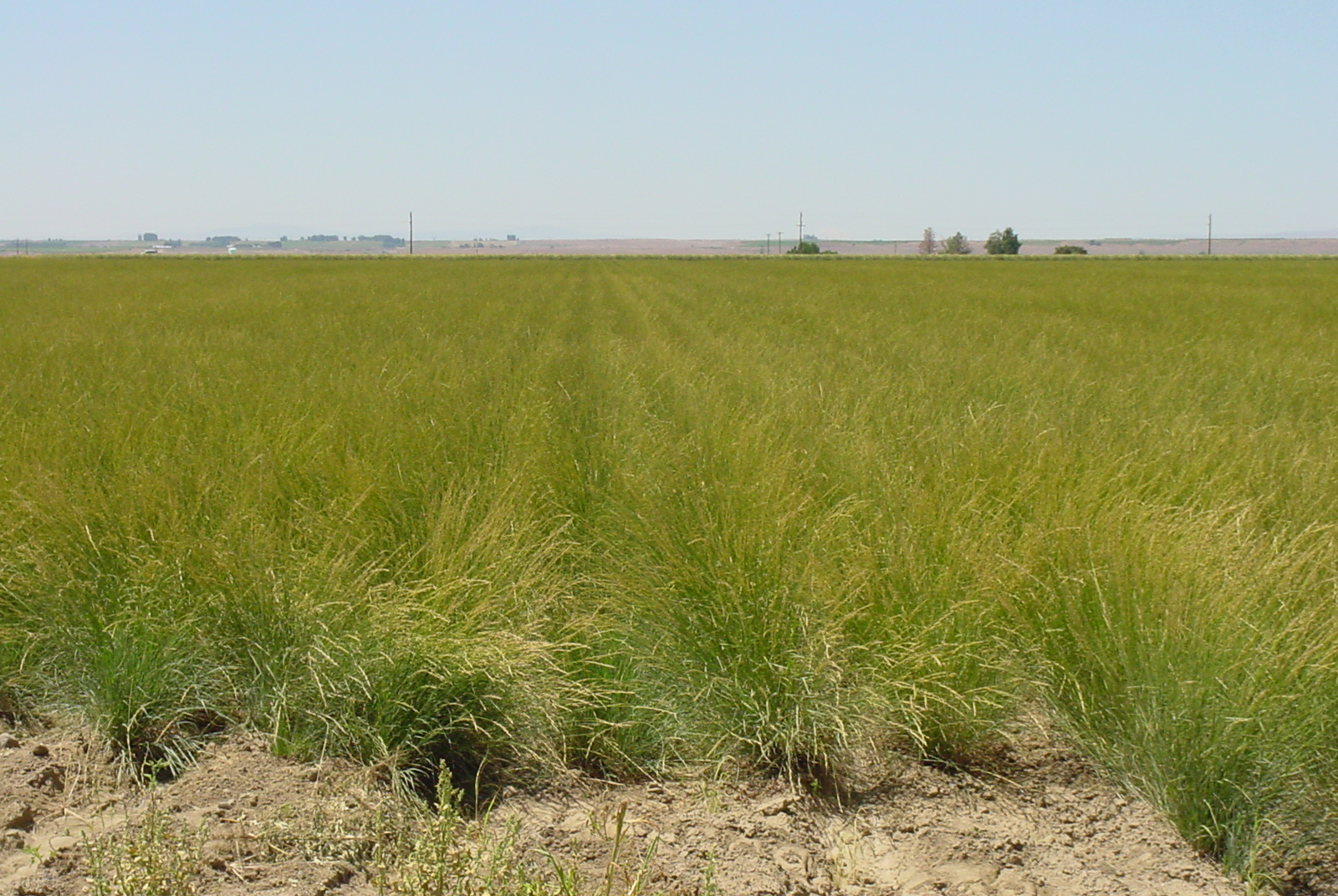Goldar Pseudoroegneria spicata ssp spicata (Bluebunch wheatgrass).JPG