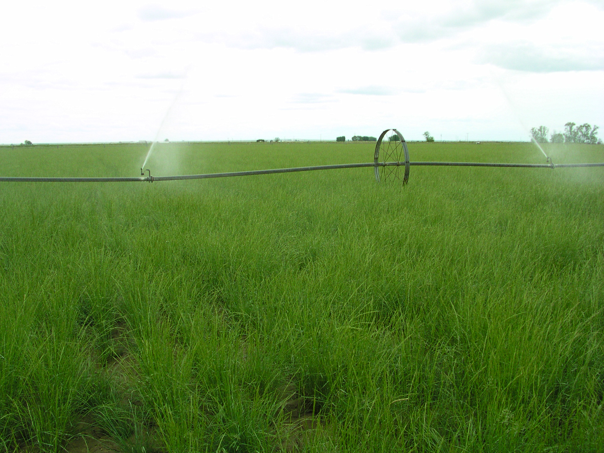 Pseudoroegneria spicata ssp spicata (Bluebunch wheatgrass) (2).JPG
