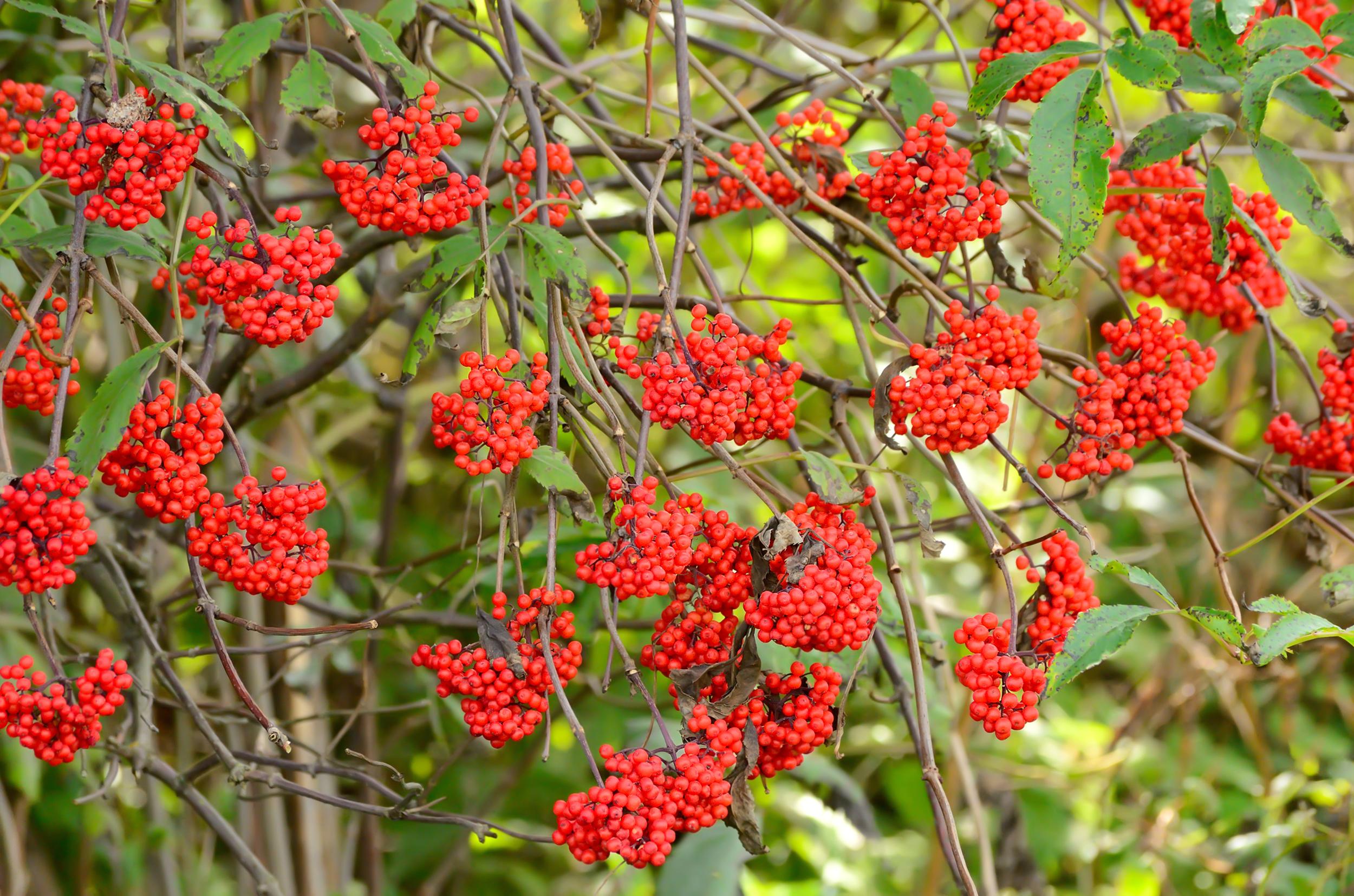Sambucus racemosa (Red elderberry) (3).jpg