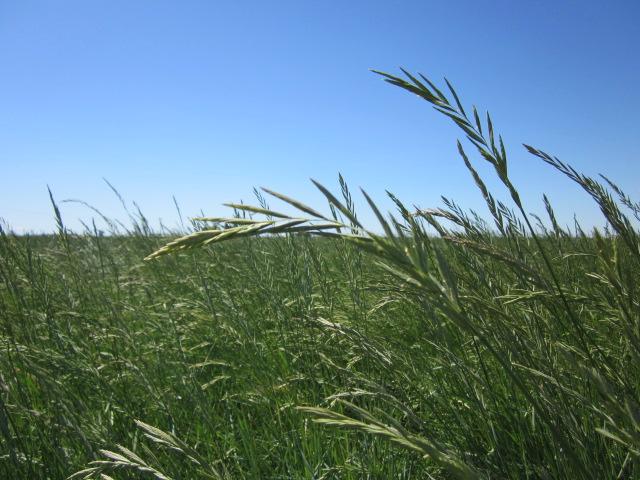 Rosana Pascopyrum smithii (Western wheatgrass).JPG